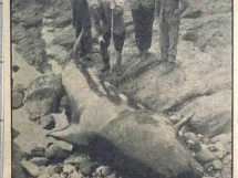 1956 Pilot Whale washed ashore